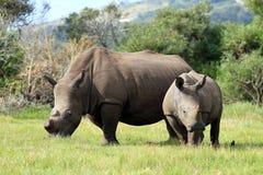 Pares do rinoceronte fotografia de stock