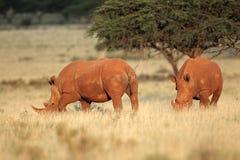 Pares do rinoceronte branco Imagem de Stock