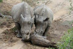 Pares do ` s do rinoceronte que empurram uma árvore em uma estrada no savana Foto de Stock Royalty Free