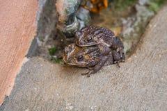 Pares do sapo no sapo da criação de animais da água que faz ovos na água Foto de Stock Royalty Free
