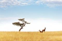Pares do Topi e árvore da acácia no Masai Mara fotos de stock royalty free
