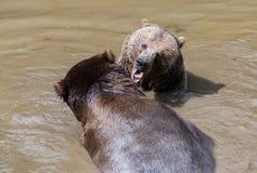 Pares do urso de Brown que afagam na água Jogo de dois ursos marrons na água Imagem de Stock