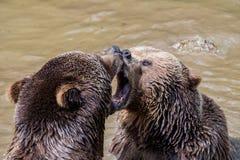 Pares do urso de Brown que afagam na água Jogo de dois ursos marrons na água Fotografia de Stock