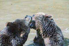 Pares do urso de Brown que afagam na água Jogo de dois ursos marrons na água Fotos de Stock Royalty Free