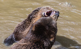 Pares do urso de Brown que afagam na água Jogo de dois ursos marrons na água Foto de Stock