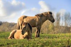 Pares dos cavalos de Konik Fotos de Stock Royalty Free