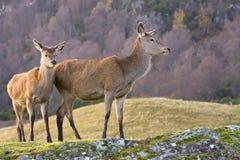 Pares dos cervos vermelhos imagens de stock