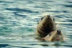 Pares dos leões de mar Imagens de Stock Royalty Free