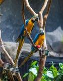 Pares dos papagaios Imagens de Stock Royalty Free