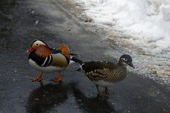Pares dos patos de mandarino Fotografia de Stock