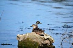 Pares dos patos selvagens foto de stock royalty free