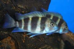 Pares dos peixes imagens de stock royalty free