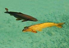 Pares dos peixes das carpas Imagem de Stock