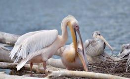 Pares dos pelicanos brancos no ninho Fotos de Stock Royalty Free