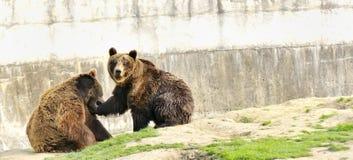 Pares dos ursos de Brown Imagens de Stock