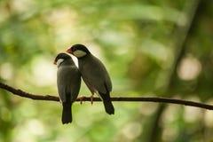 Pares dulces de Java Sparrow en una rama Fotos de archivo