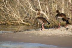 Pares egipcios de los gansos a lo largo del Riverbank del Zambeze Imagenes de archivo