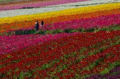 Pares em campos de flor fotos de stock