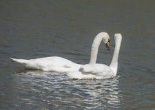 Pares en cisnes del amor Fotografía de archivo libre de regalías