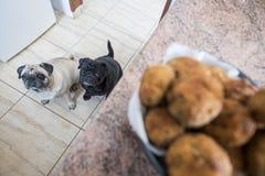 Pares engraçados dos Pugs em casa Foto de Stock Royalty Free