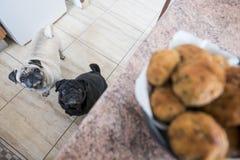 Pares engraçados dos Pugs em casa Fotografia de Stock Royalty Free