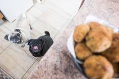 Pares engraçados dos Pugs em casa Imagem de Stock Royalty Free