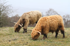 Pares escoceses del ganado de la montaña con los cuernos grandes Fotografía de archivo