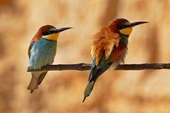 Pares europeos del bee-eater en una ramificación Fotografía de archivo libre de regalías