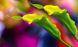 Pares exóticos de calas contra fondo abstracto colorido fotos de archivo