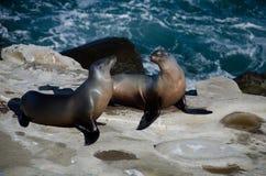Pares flertando de leões de mar de Califórnia perto da angra de La Jolla Imagem de Stock Royalty Free