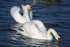 Pares graciosos das cisnes brancas Fotografia de Stock Royalty Free