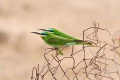Pares hermosos de bee-eaters verdes Imagen de archivo