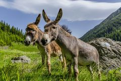 Pares hermosos de los burros que permanecen en el viento en las altas montañas fotos de archivo libres de regalías