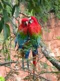 Pares hermosos de macaws rojos salvajes, vistos en Buraco das Araras ( Imagen de archivo libre de regalías