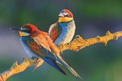 Pares hermosos en pájaros del amor Fotos de archivo
