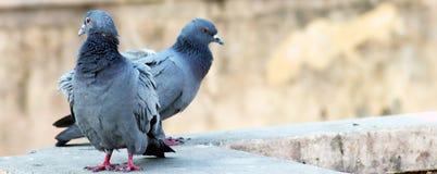 Pares indianos cinzentos do tougater do amor do pombo do reboque fotografia de stock royalty free
