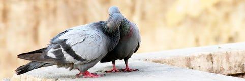 Pares indianos cinzentos do tougater do amor do pombo do reboque fotos de stock royalty free