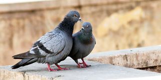 Pares indianos cinzentos do tougater do amor do pombo do reboque imagem de stock royalty free