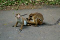 Pares interesantes de monos Fotografía de archivo libre de regalías