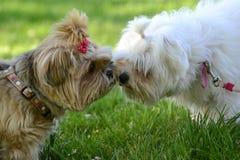 Pares lindos de pequeños perros peludos en amor fotografía de archivo