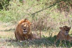 Pares magníficos de leões africanos Imagens de Stock Royalty Free