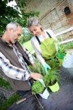 Pares mayores que cultivan un huerto cerca de casa vieja Imagen de archivo libre de regalías