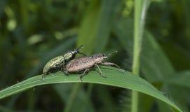 Pares negros del escarabajo que se acoplan en la hoja Imágenes de archivo libres de regalías