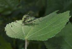 Pares negros del escarabajo que se acoplan en la hoja Fotografía de archivo