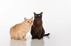 Pares negros y brillantes de los gatos birmanos de Brown Aislado en el fondo blanco Foto de archivo libre de regalías