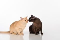 Pares negros y brillantes de los gatos birmanos de Brown Aislado en el fondo blanco Fotografía de archivo