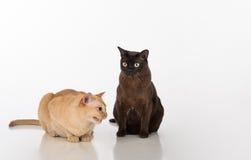 Pares negros y brillantes de los gatos birmanos de Brown Aislado en el fondo blanco Imagen de archivo