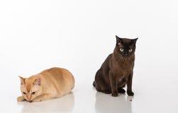 Pares negros y brillantes de los gatos birmanos de Brown Aislado en el fondo blanco Consumición de la comida Foto de archivo
