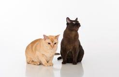 Pares negros y brillantes de los gatos birmanos de Brown En el fondo blanco Fotos de archivo