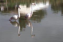 Pares no Camargue, França do flamingo Fotos de Stock Royalty Free
